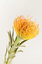 Orange Pincushion Protea Flower