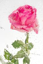 Pink Blooming Rose Flower
