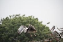 Spot Billed Pelican Taking Off...
