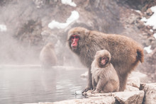 Snow Monkey By The Hot Spring