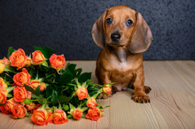 A Small Beautiful Young Dog Of Dachshund Breed Sits On A Wooden Textured Table And Looks Up And Next To It Lies A Bouquet Of Roses With Small Buds. Studio, Black Background