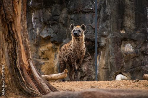 Fotografia, Obraz A portrait of a hyena in its enclosure at a local city zoo.