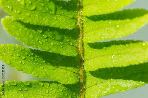 Fotografie, Obraz green fern leaves drop of water.