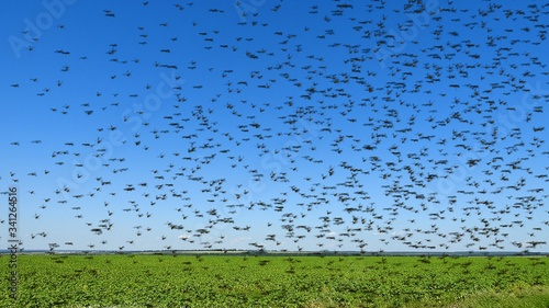 Photo Swarm of locust over field. Arrival.