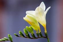 Freesia Flowering Plants In Sp...