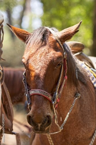 Closeup vertical shot of a brown horse wearing a harness with a blurred background