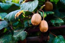 Close-up Of Kiwis Growing On Tree