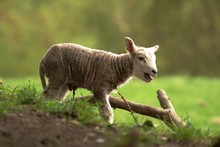 Cute New Born Baby Lamb In The...