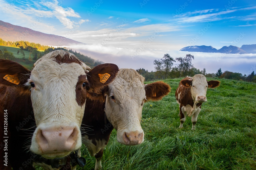 Fototapeta Herd of cows grazing on the pasture during daytime