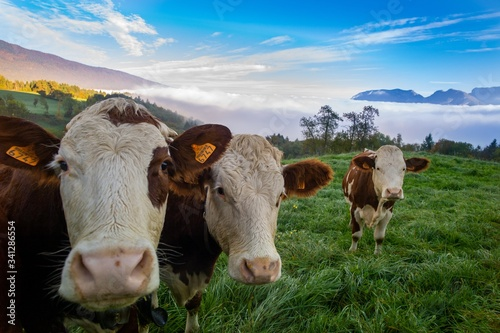 Fotografie, Obraz Herd of cows grazing on the pasture during daytime