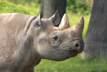 Black Rhino Close Up Picture