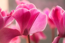 Close Up Of Pink Cyclamen Flower