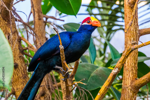 Photo beautiful closeup portrait of a violet turaco, popular exotic bird specie from a