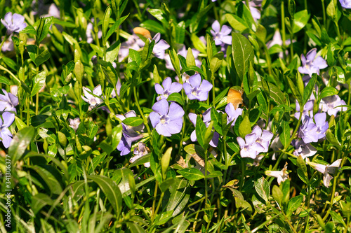 Obraz na plátně Purple blue flowers of periwinkle vinca minor in spring garden