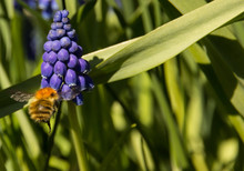 Bumble Bee On Grape Hyacinth