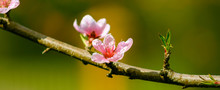 Pink Flowers Blooming Peach Tr...