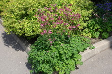 Deep Pink Flowers Of Aquilegia...