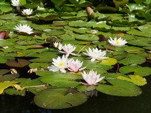 White Water Lily On The Pond. ...
