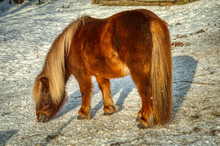 Shetland Pony Grazing In Winter