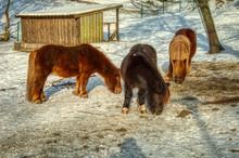 Shetland Ponies Grazing In Win...