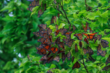 Monarch Butterflies Roosting A...