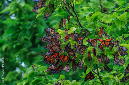 Photo Monarch butterflies roosting at the tip of Point Pelee before crossing Lake Erie on their annual fall migration to Mexico