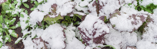 Panoramic close up red mustard greens in snow covered freezing growing at allotm Canvas Print