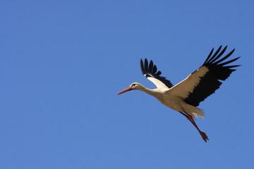 Flying single white Stork during the spring nesting period.