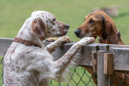 Segugio Italiano and English Setter staring at each other over a fence standing on their hind paws Wallpaper Mural