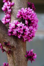 A Redbud, Or Cercis, Tree With Pink Flowers In Spring