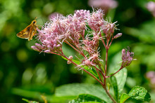 Joe-pye Weed With A Duskywing Butterfly Feeding On Nectar