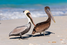Two White And Brown Pelicans O...