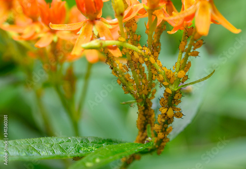 Photo Oleander aphids infesting butterfly milkweed