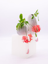 Two Spider Hibiscus Flowers In...