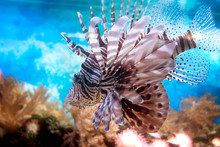 Lionfish Swimming Between The ...