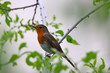 Robin perched on a branch symbolises new beginnings...