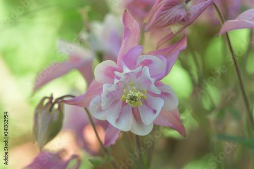 ふんわりした色合いのピンク色の花 Canvas Print