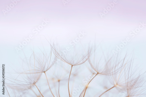 Fotografie, Obraz Close up macro image of dandelion seed heads with detailed lace-like patterns on a blue background with copy space