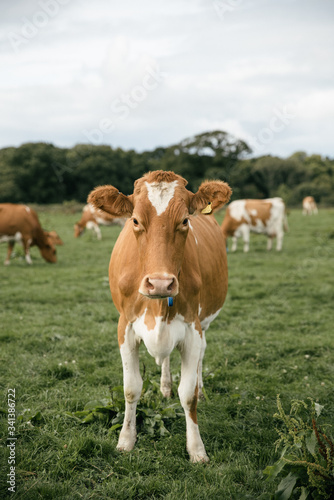 cows in the meadow - 341386722