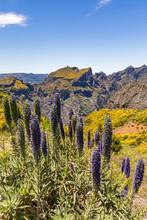 Portugal, Madeira, Pride Of Madeira (Echium Candicans) Growing At Miradouros Do Paredao
