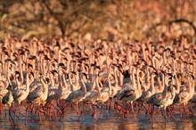 Flocks Of Lesser Flamingos Mar...