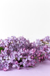 Spring flower, twig purple lilac on white and purple background. Selected focus. Vetical. Syringa vulgaris.