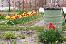 Spring Garden, Blooming Tulips...