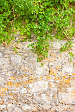 Stone Wall Covered In Ivy - Image With Copy Space