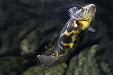 Aquarium Fish. Cichlid Astrono...