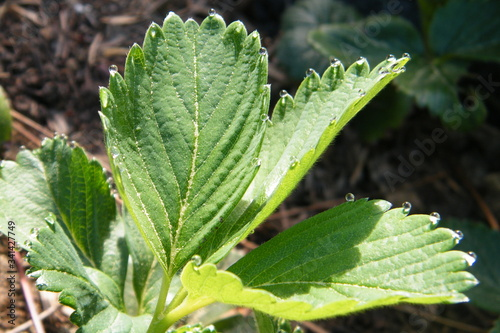 Fototapeta Dewdrops on the serrated tips of a strawberry leaf