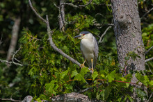 Black-crowned Night Heron Perched In A Tall Tree Overlooking A Lake.