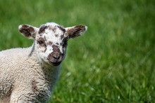 Close Up Of Cute New Born Lamb In Spring In English Countryside