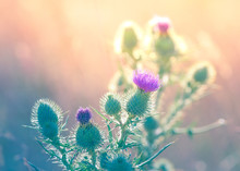 Close-up Of Thistle Flowers Against Blurred Background