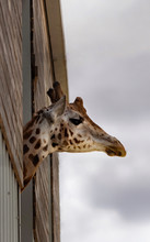 Low Angle View Of Giraffe At Zoo Against Cloudy Sky